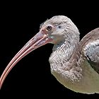Ibis Hanging Out by TJ Baccari Photography