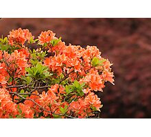 Peach Profusion Amid a World of Brick Red Photographic Print