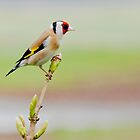 European Goldfinch by Margaret S Sweeny