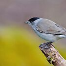 Blackcap by M.S. Photography & Art