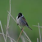 Male reed bunting by Peter Wiggerman