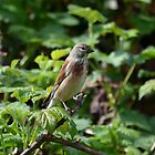 Linnet-III by Peter Wiggerman