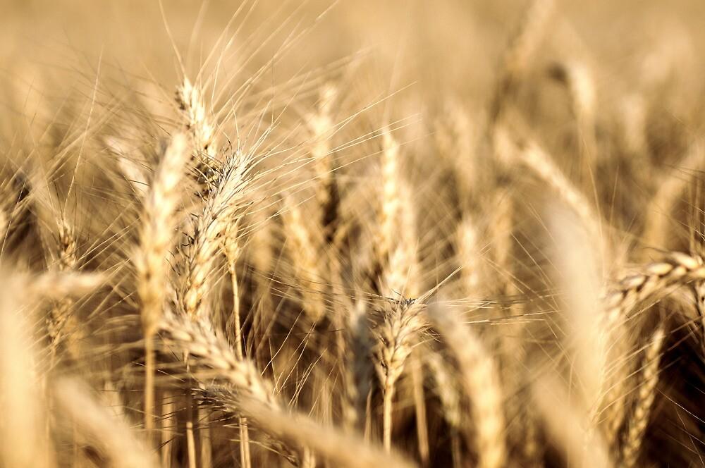 Ripe Wheat by Fabian Lackner