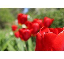 Beautiful Red Tulip Photographic Print