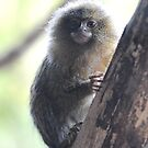Eastern Pygmy Marmoset by Dorothy Thomson