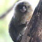 Eastern Pygmy Marmoset by Dorothy Thomson