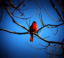 Proud Cardinal by K L Roberts
