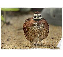quail Poster