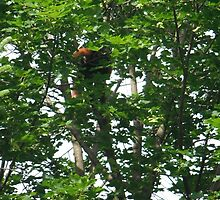 Playing Hide-and-Go-Seek with a Red Panda by Ryan Eberhart