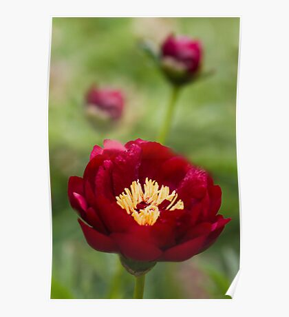Peony Red Poster
