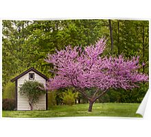 American Red Bud Tree Poster