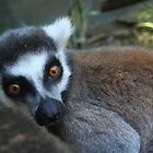 Leering Lemur! by v-something