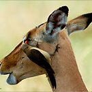 OUTCH! THAT'S MY EYE ! IMPALA – Aepyceros melampus melampus - *ROOIBOK* by Magriet Meintjes