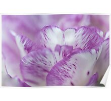 Dappled Tulip. The Tulips of Holland Poster