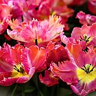 Parrot Tulips. The Tulips of Holland by JennyRainbow