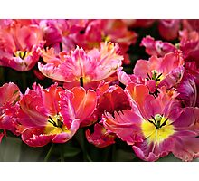 Parrot Tulips. The Tulips of Holland Photographic Print