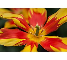 Dappled Tulip 1. The Tulips of Holland Photographic Print