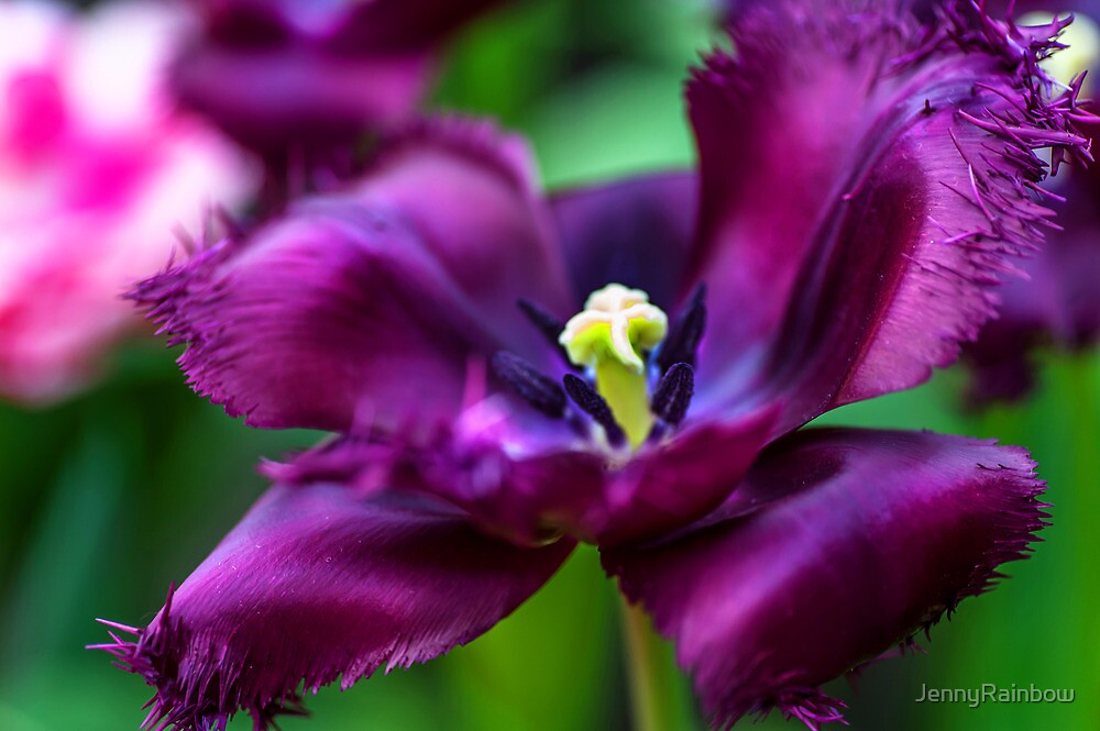 Dark Purple Parrot Tulip. The Tulips of Holland by JennyRainbow