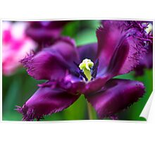 Dark Purple Parrot Tulip. The Tulips of Holland Poster