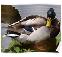 Mallard Duck At Mangerton Mill, Dorset UK Poster