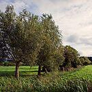 Willows - Somerset levels by Sally Barnett