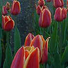 Tulips from Amsterdam by Paraplu Photography