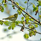 Wood Warbler by VoluntaryRanger