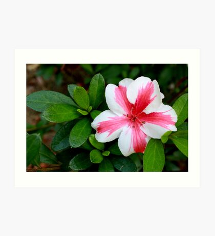 Pink and White Striped Azalea Art Print