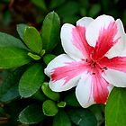 Pink and White Striped Azalea by AuntDot