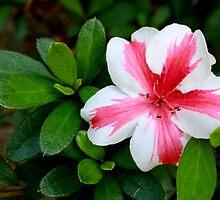 Pink and White Striped Azalea by AuntDot