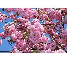 Cherry Tree Photographic Print