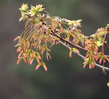 new maple leaves by vigor