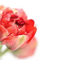 Peony Tulip... by Bob Daalder