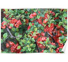 Red Quince Poster