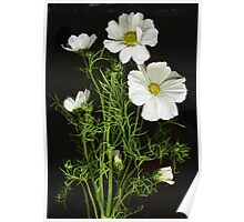 Bright White Cosmos Poster