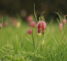 Waving Snake's head fritillaries at Downton Abbey by miradorpictures