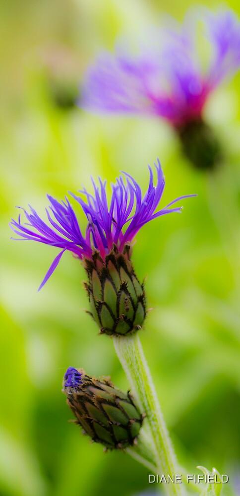 Mountain Cornflower by DIANE  FIFIELD