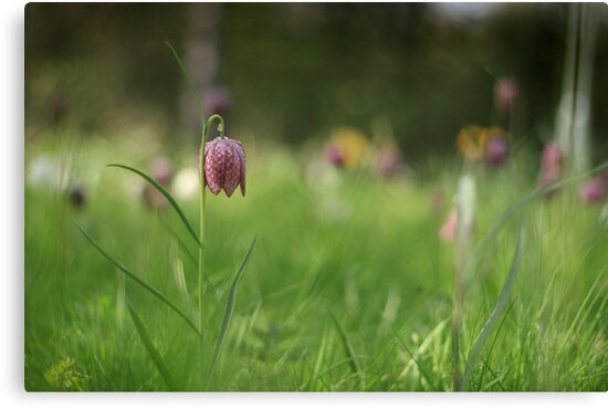 Standing alone, snakes head fritillary at Downton Abbey by miradorpictures