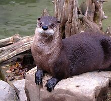 Northern River Otter by caybeach