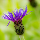 Mountain Cornflower Blue  by DIANE  FIFIELD