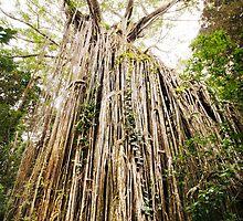 Curtain Fig Tree - Far North Queensland by RichardCurzon