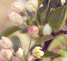 Apple Blossoms by richardbrosseau