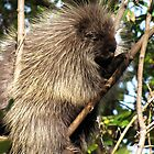 Porcupine by caybeach