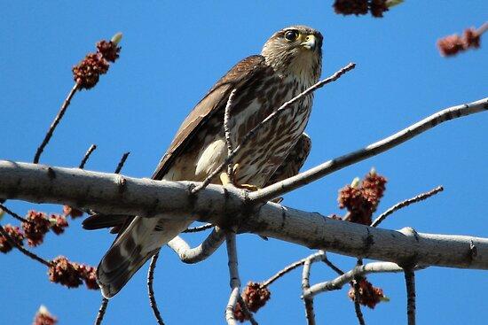 Springtime Merlin Hawk by hummingbirds
