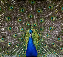 Indian or Blue Peafowl - Peacock by alan tunnicliffe