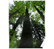 Giant Maple Poster