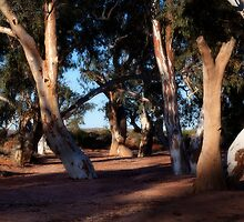 Sunset on River Gums by pbclarke