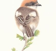 Woodchat Shrike by Catherine Gabriel