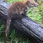 Spoted Tailed Quoll by Donovan wilson