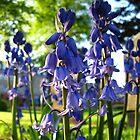 Bluebells by LVanDhal